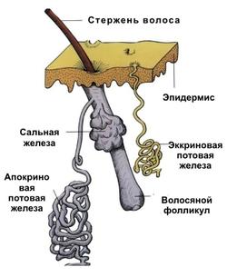 Строение корня волоса