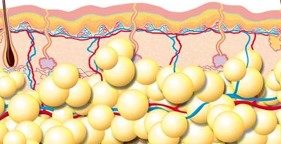 Подкожная жировая клетчатка (гиподерма)